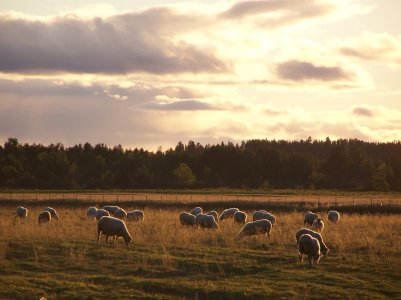 Bergerie-du-Nord-moutons