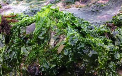 Seaweed Nutrition; A Food Source to End Starvation