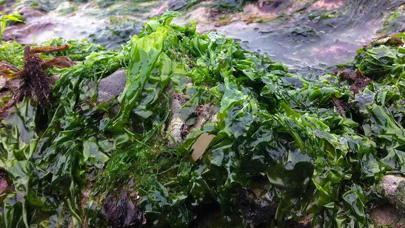 Seaweed-Nutrition;-A-Food-Source-to-End-Starvation-www.detoxandcure.com
