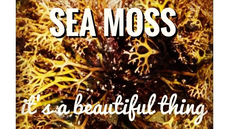 sea moss with text overlat reading 'sea moss, it's a beautiful thing'. This is an image of an olive green species of sea moss on a white background that is full and thick like a tight shrub with lighter sea moss thalus (or branches) towards the outside while the center of the image is like looking in to the depth of the shrub where the sea moss is thicker in a bunched type formation and much darker - www.detoxandcure.com