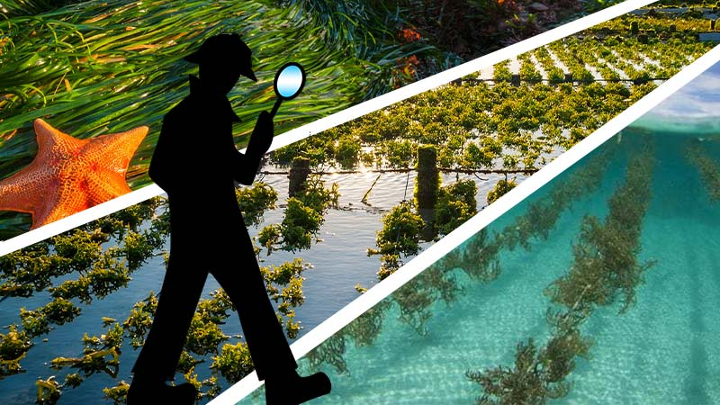 Uncovering the Wildcrafted Sea Moss Myth - image of 3 panels of seaweed growing wild and in a farm with a silhouette of an inspector with a magnifying glass looking at the seaweed