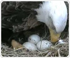 Fun Web Finds: Eagle cam