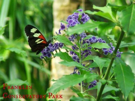expcols frnaklin butterfly2