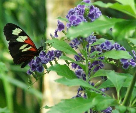 expcols franklin park butterfly on purple flower