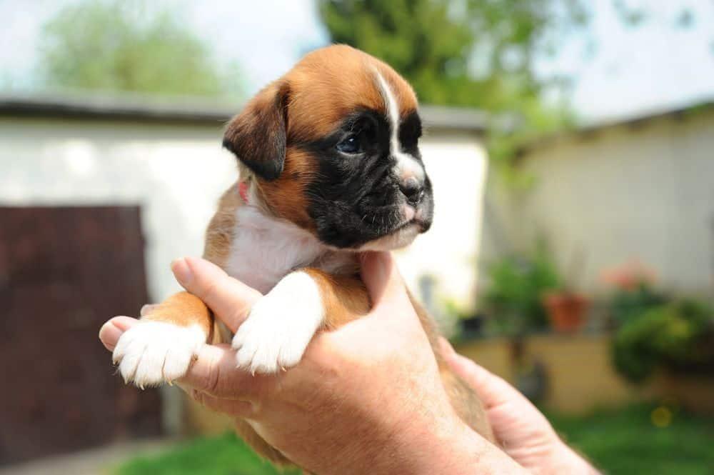 Lebenserwartung Boxer Welpen