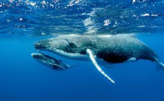 nager avec les baleines