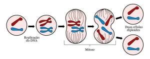 Ilustração de uma mitose, divisão celular em que o DNA primeiro é duplicado dentro da célula e cada célula-filha tem exatamente o mesmo DNA que a célula original