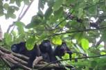 Howler monkeys at Guatuzo National Reserve in Nicaragua