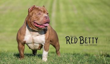American Bullies – Female – Red Betty