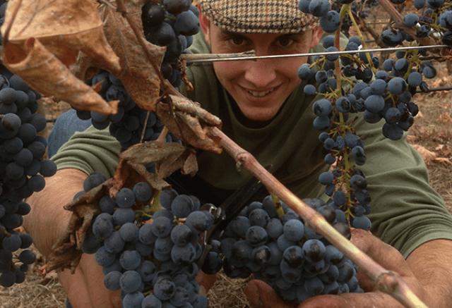 Vendimia en los viñedos de Samsara Wines. Fuente: Samsara Wines