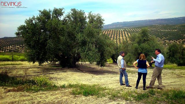Joaquín Claramunt explicando sobre sus olivos centenarios. Fuente: Devinos con Alicia