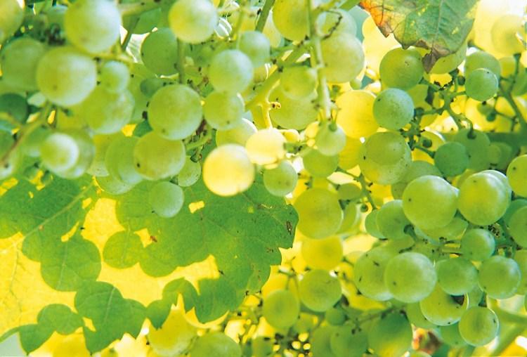 Variedad Glera, en los viñedos de Ruggeri en Valdobbiadene DOCG Prosecco. Extraida de www.ruggeri.it