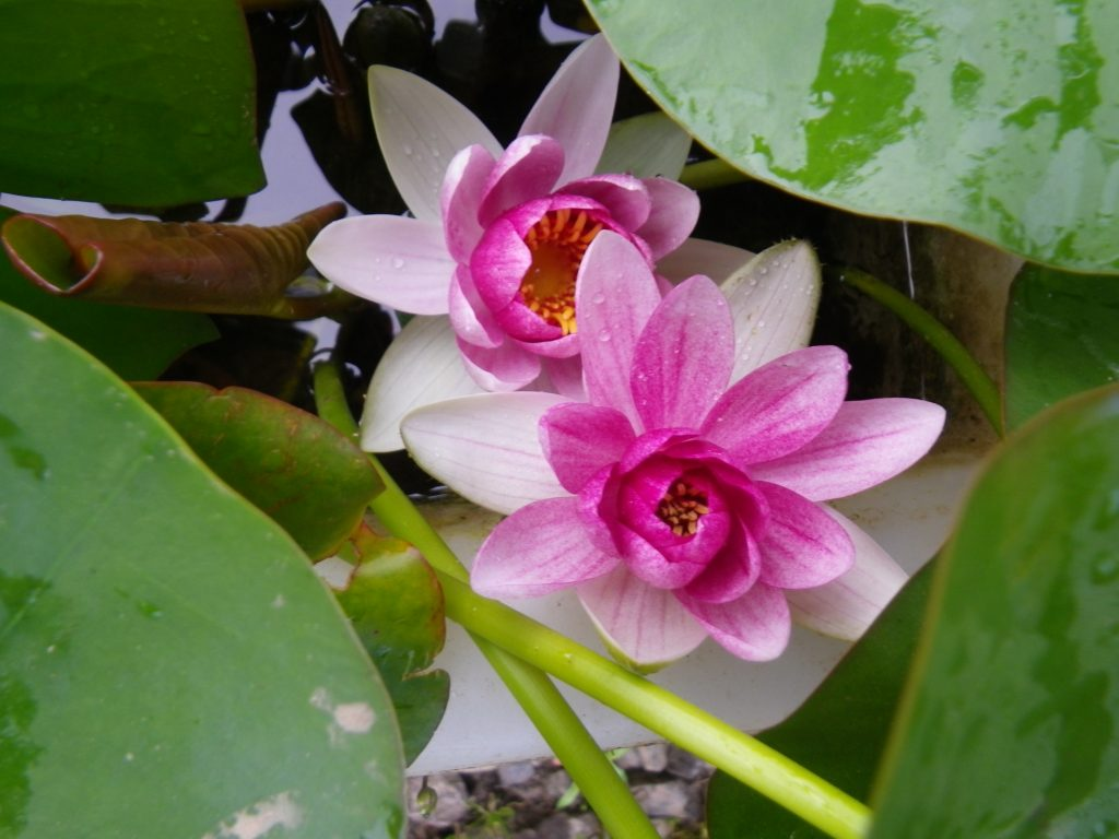 Marginal Pond Plants Sale