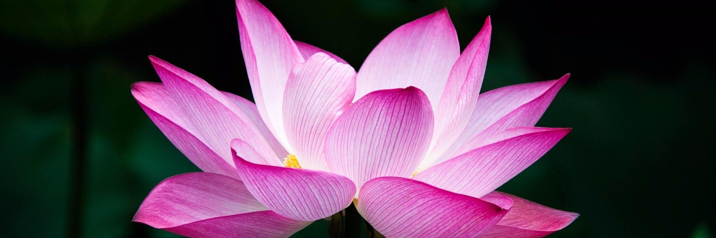 lotus-978659_1920