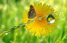 Butterfly dandelion dewdrops