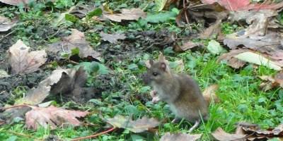 Muis is geen rat