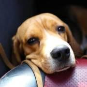 sick dog in car