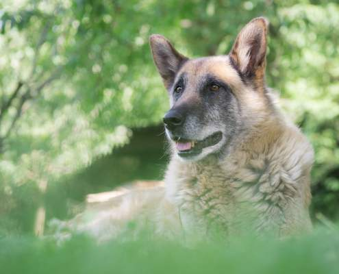How to Care for a Retired Working Dog