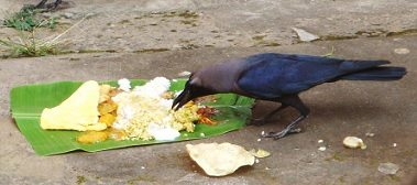 Feeding Of Crows Can Appease Lord Shani