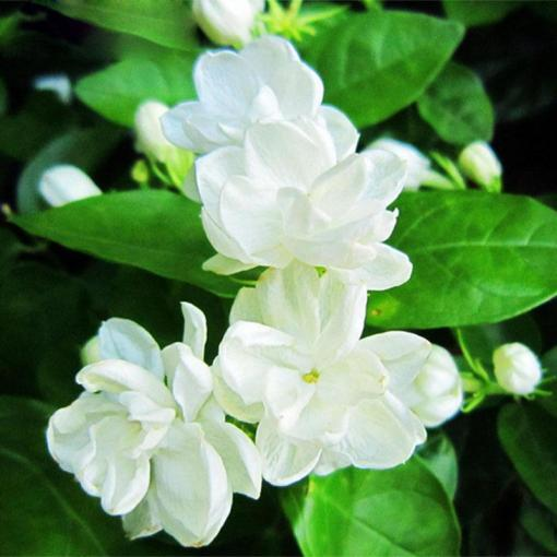 2018 Hot Sale White Jasmine Seeds Jasmine Flower Seeds Fragrant     2018 Hot Sale White Jasmine Seeds Jasmine Flower Seeds Fragrant Plant  Arabian Jasmine Seeds Bonsai Potted Plants Home   Garden From Shujuan1983