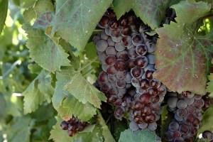 nerello mascalese vitigno autoctono siciliano di giovanna