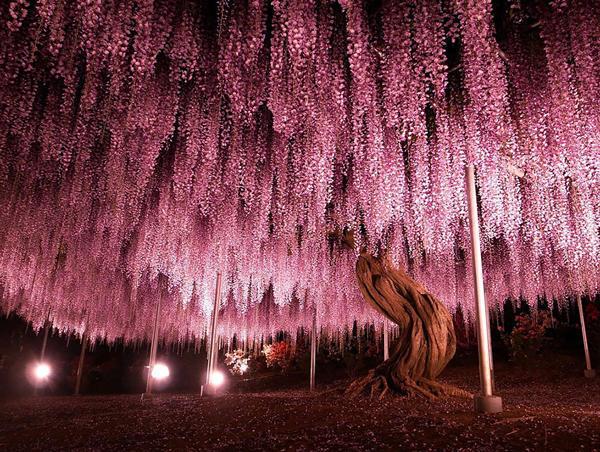 diaforetiko.gr : glisini1 Ένα φυτό 144 ετών που μετατρέπει τον ουρανό σε ροζ υπερθέαμα! Δείτε τις εικόνες που μαγεύουν με την ομορφιά τους…