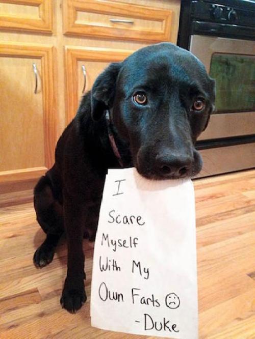 guilty-dog-shaming-fart-500x666