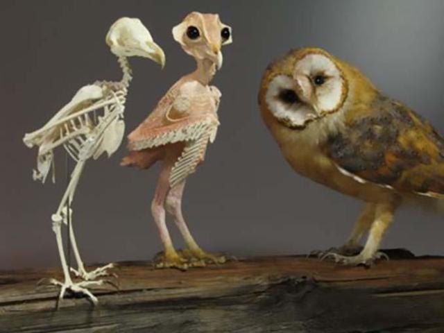 Θα πάθετε σοκ όταν δείτε πως είναι η κουκουβάγια χωρίς τα φτερά της (4)