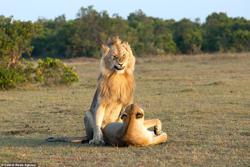 The look of love: The lion's face is contorted with desire as he looks down at the lioness on the savanna floor looking back at him; their session could last several days and include up to 200 separate acts of mating