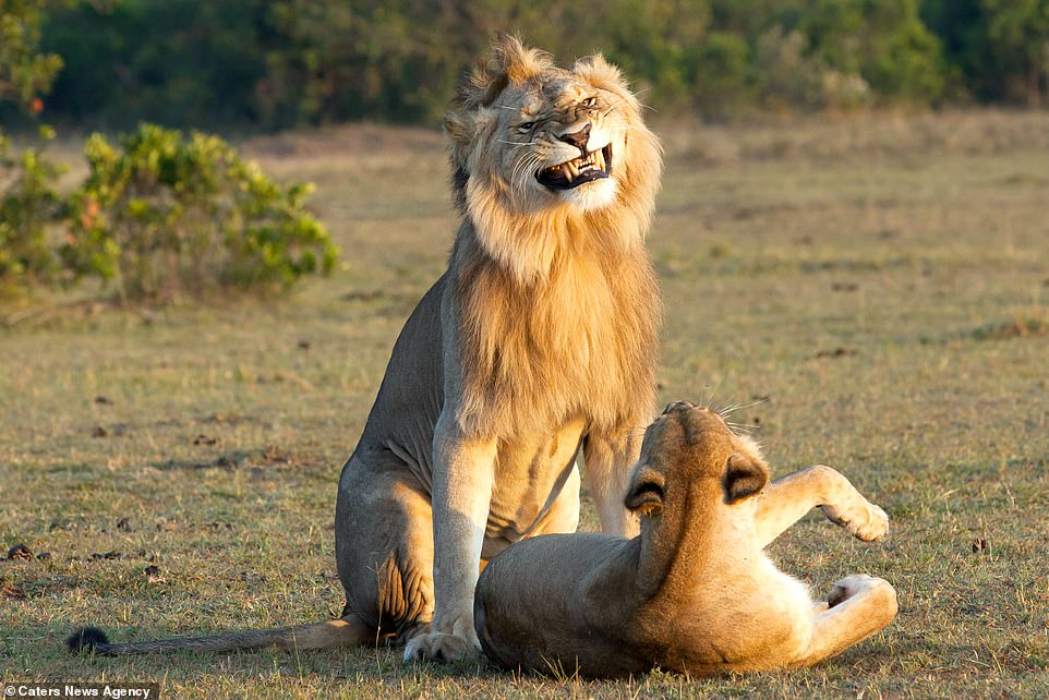 A grin or perhaps a grimace as the lion prepares to mate with the lioness in the soft evening sunset light of the Maasai Mara; the nature reserve is globally exceptional for its large lion, leopard and cheetah populations