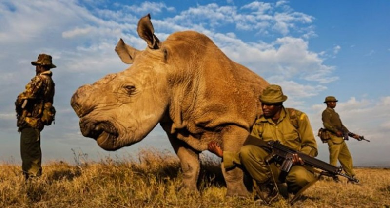 Υπό ένοπλη προστασία ο τελευταίος λευκός αρσενικός ρινόκερος του πλάνητη! - Εικόνα0