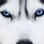 The Science Behind A Dog S Blue Eyes Diamond Pet Foods