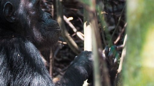 Mahale Chimpanzee Trekking