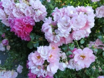 """""""Love is like the wild rose-briar""""....from a poem by Emily Bronte"""