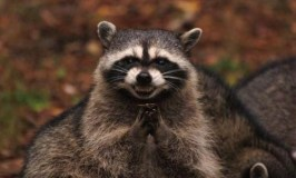 What to do when a raccoon invades your home