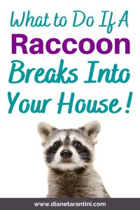What to do if a raccoon breaks into your house!