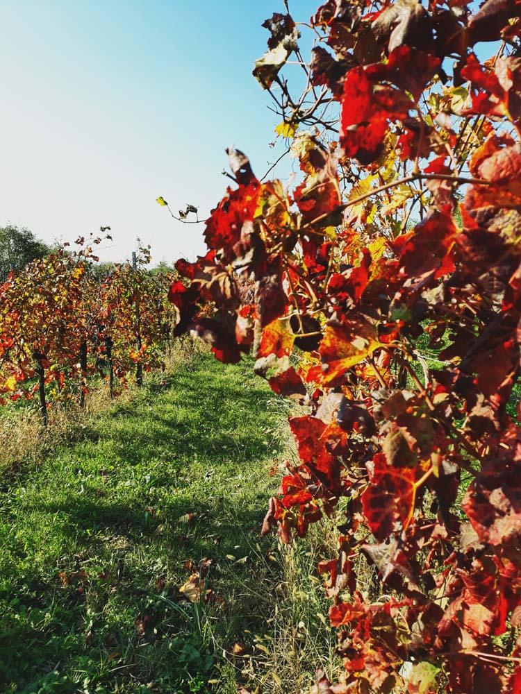 vigne colli euganei