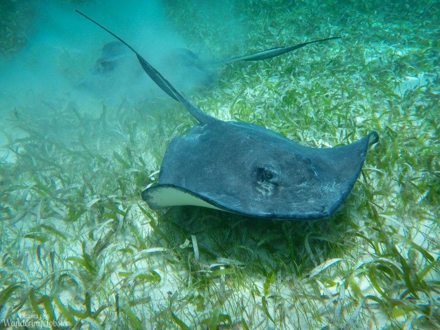 Sting Rays Hol Chan Marine Reserve Belize