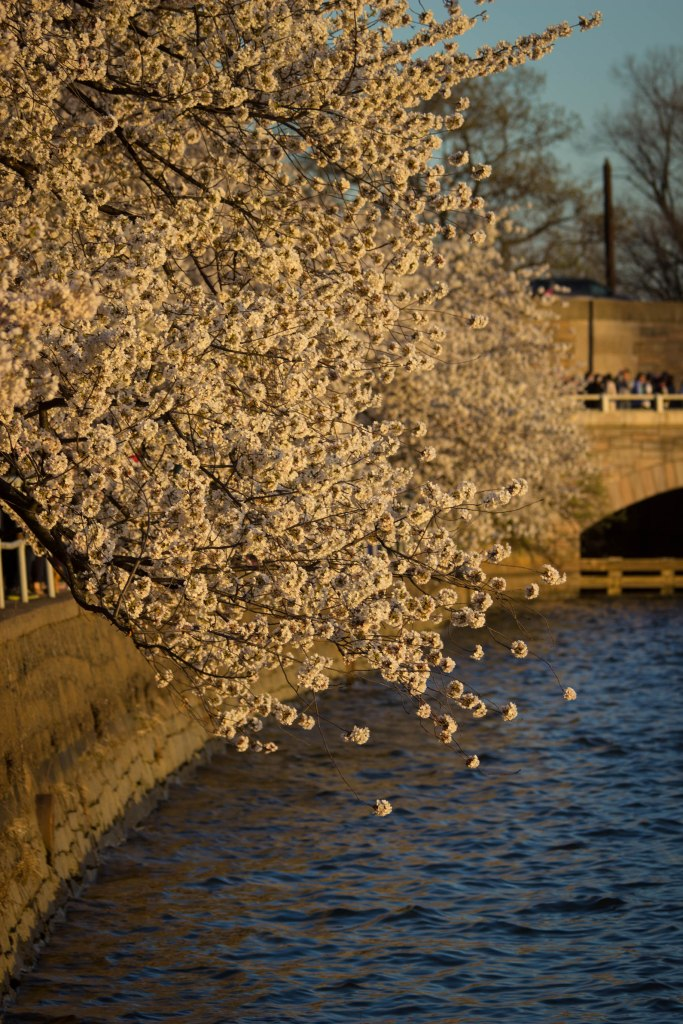 Cherry blossoms sunset Potomac