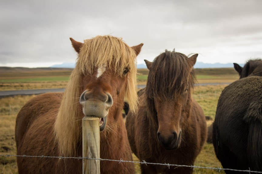 Icelandic horses Iceland travel photos of 2015 South Coast and Jokulsarlon Lagoon
