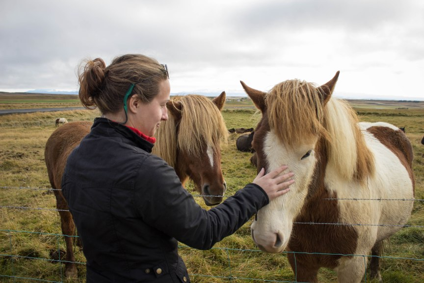 Icelandic Horse horseback riding in Iceland