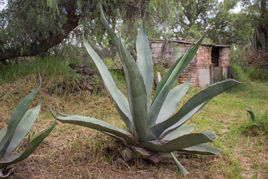 Agave plant Teotihuacan