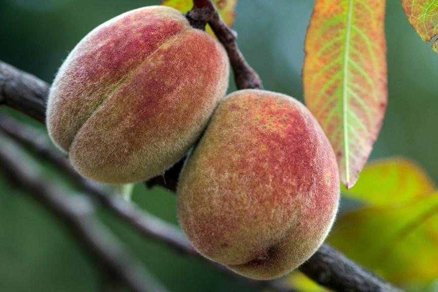 Hipmunk Hotels Peaches