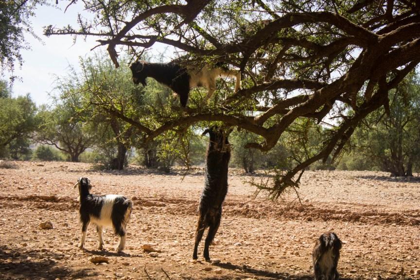 [img] tree climbing goats morocco