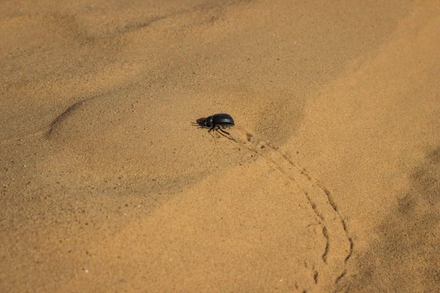 [img] dune beetle Sahara Desert