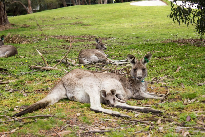 [img] Anglesea Golf Club Kangaroos