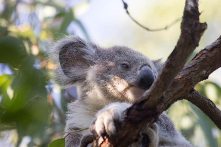 [img] should you hold a koala bear in Australia?