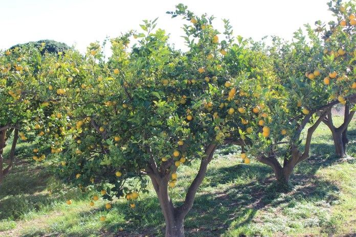 El incremento contrasta con el descenso de cosecha en las otras grandes zonas productoras, con caídas del 20% en Valencia y del 4% en Murcia.