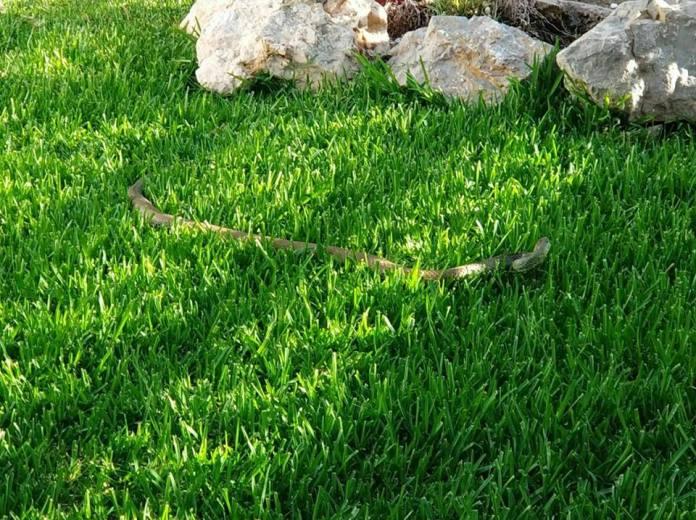 Se trata de una serpiente de 2 metros. Foto: Ayuntamiento Vélez-Málaga.