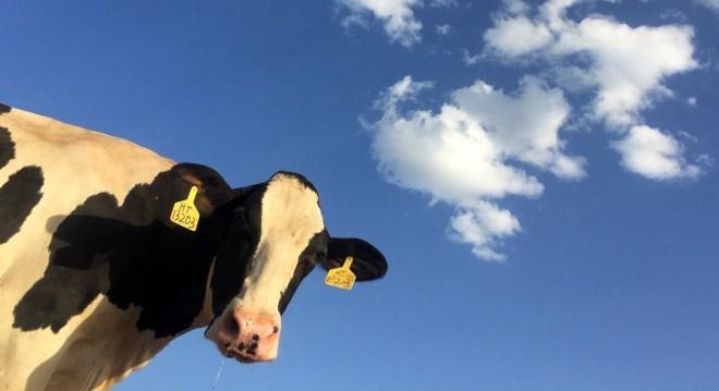 tokens de vaca